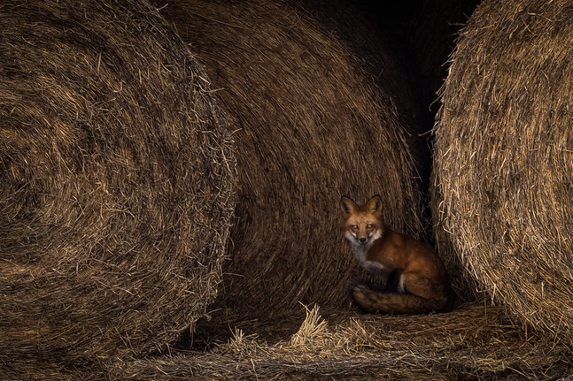 Fox in the Bales