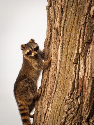 NSNWR Raccoon.jpg