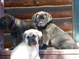 Mastiff Puppies.jpg