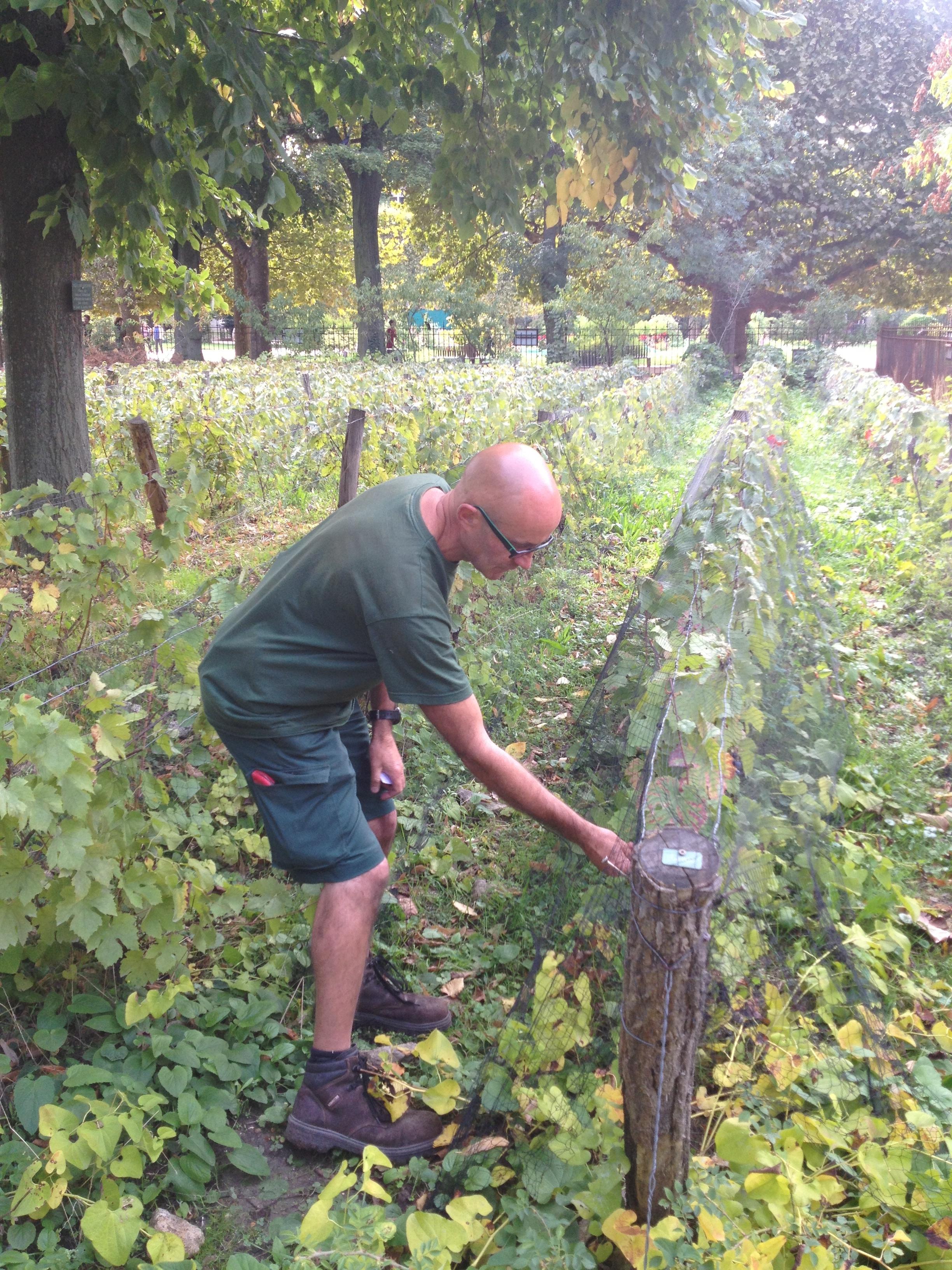 Gardener in vines