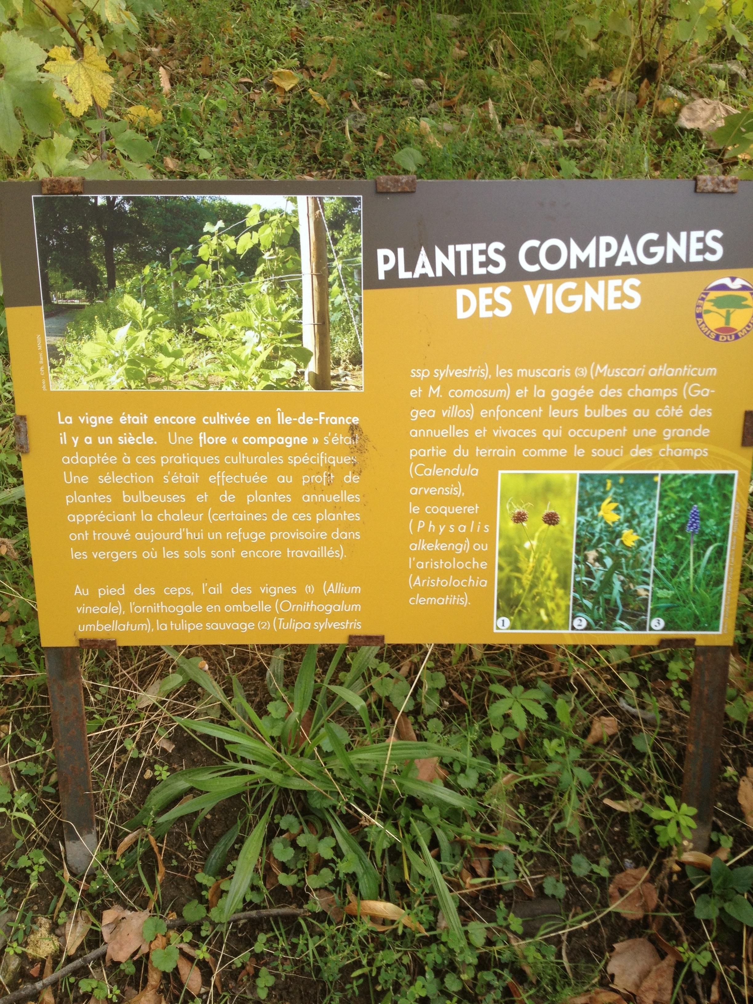Companion plants for vines