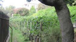 Belleville vines