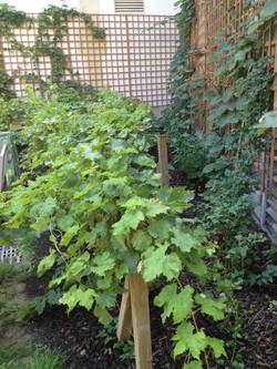 Vines and trellis