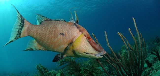 hogfish in the florida keys