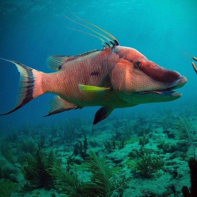 Hogfish at Mystic Fish in Palm Harbor FL