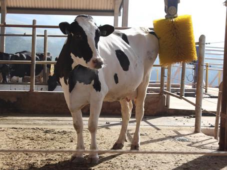 Como proporcionar um ambiente tranquilo e sem estresse para as vacas leiteiras?