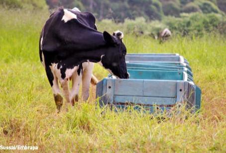 Por que priorizar alimentos seguros para alimentar vacas leiteiras?