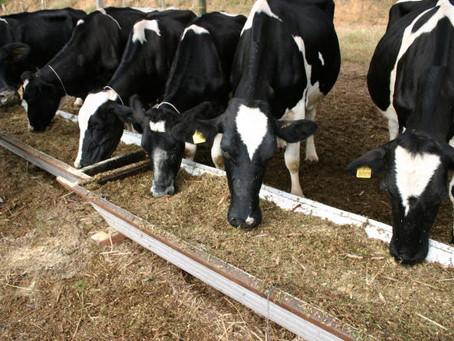 Como manter a qualidade da alimentação das vacas de leite