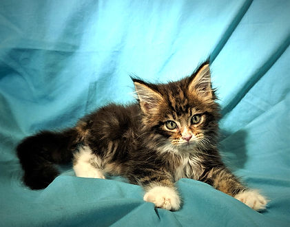 mainecoon kittens for sale Tucson