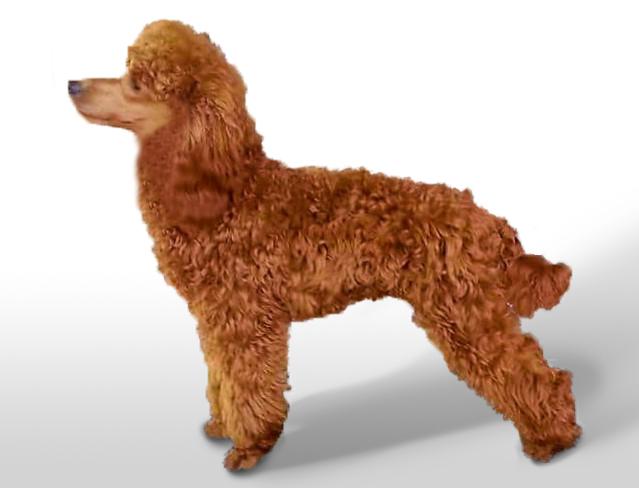 PARENTS | Red Miniature Poodles & Miniature Labradoodles for
