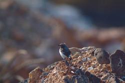 Bird in Azraq Wetland