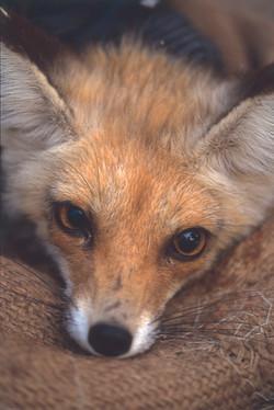 Fox in Dana Nature Reserve