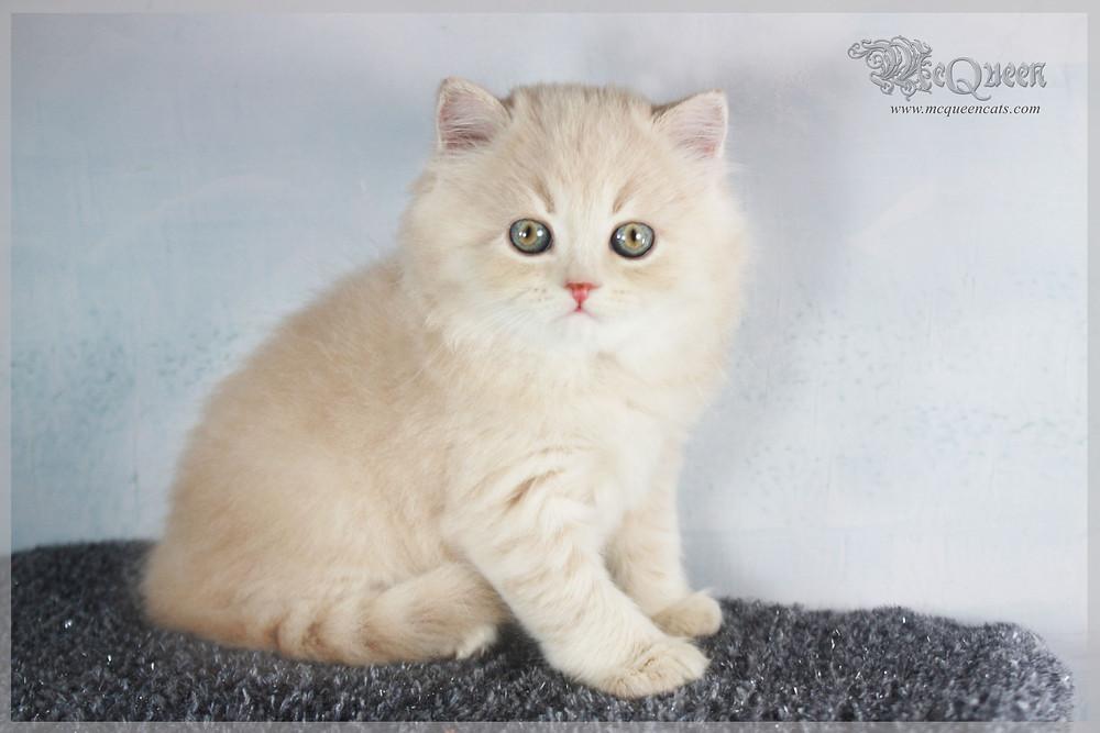 Cream British Longhair Kitten