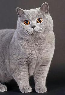British cat in Dubai
