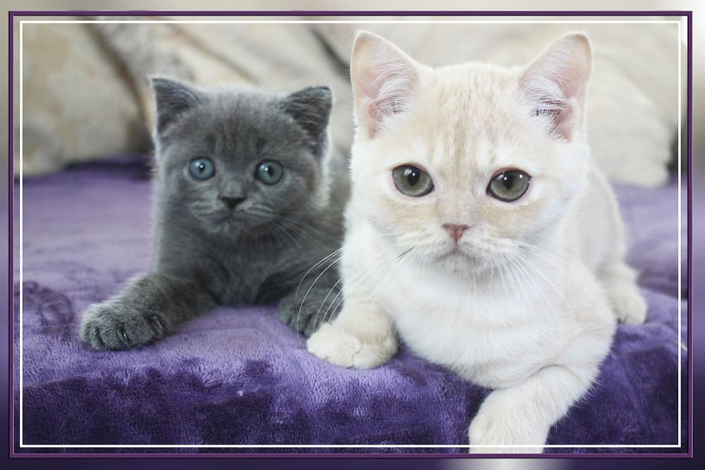 British Shorthair Cream & Blue Kittens