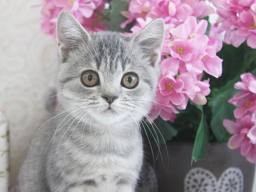 British Blue Tabby Kitten