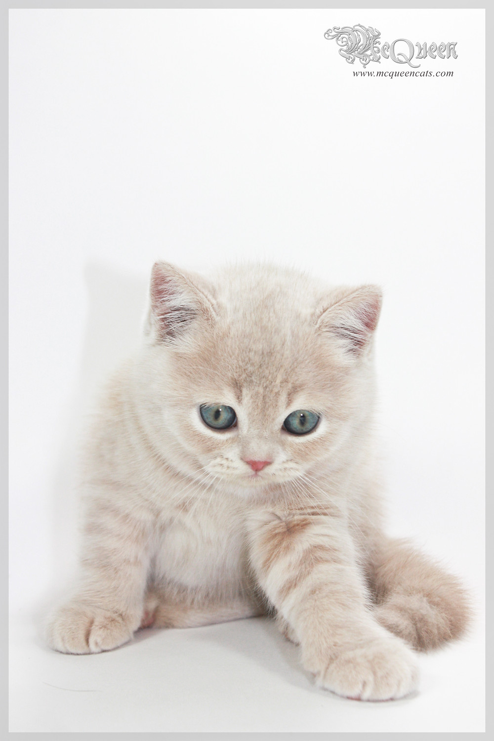 Cream British Shorthair Kitten in Dubai