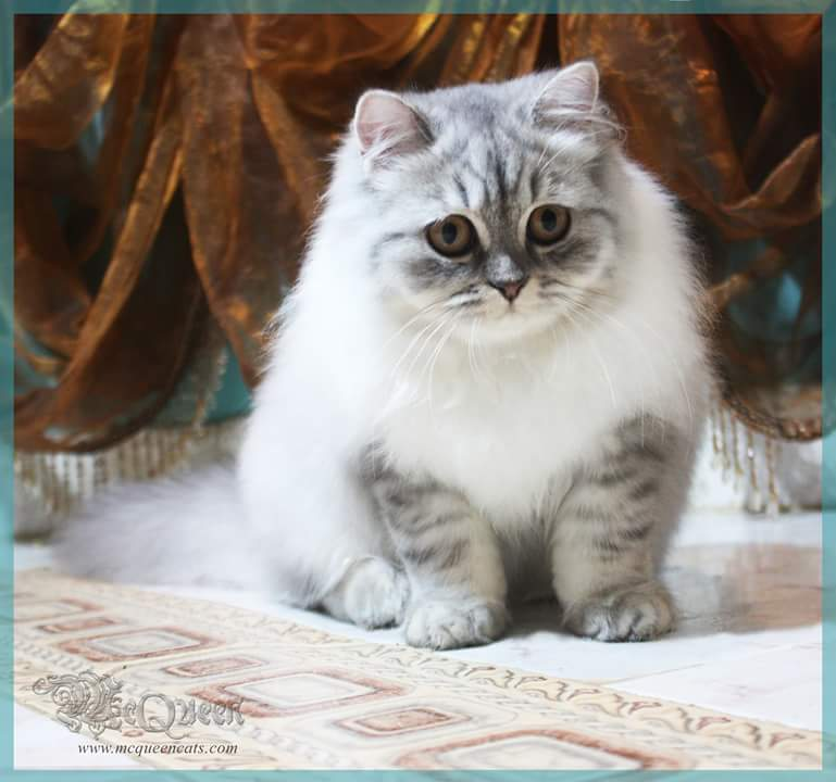 Blue Shaded British Longhair