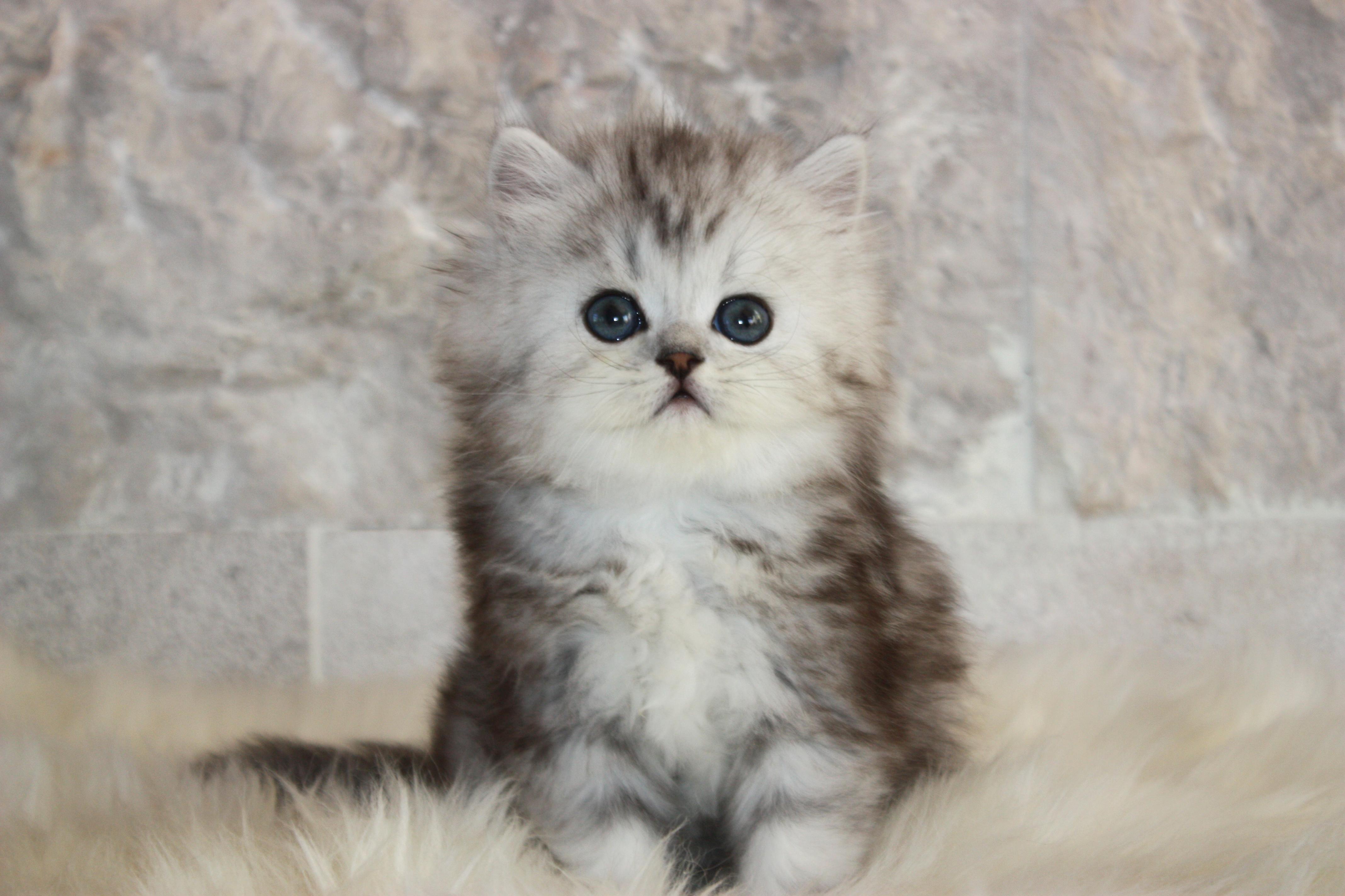 Silver British Kitten