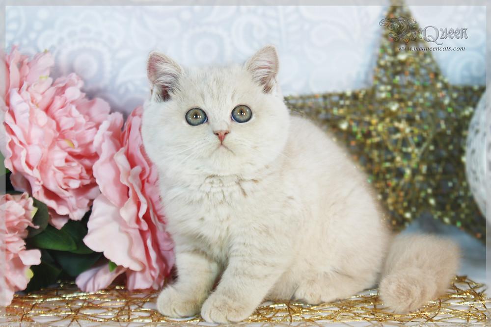 Cream British Shorthair kitten 8 weeks old