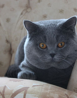British Shorthair in UAE