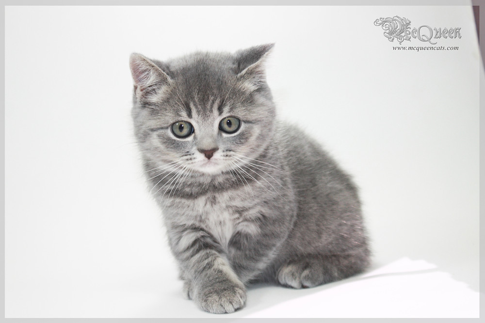 British Shorthair Kitten in Dubai