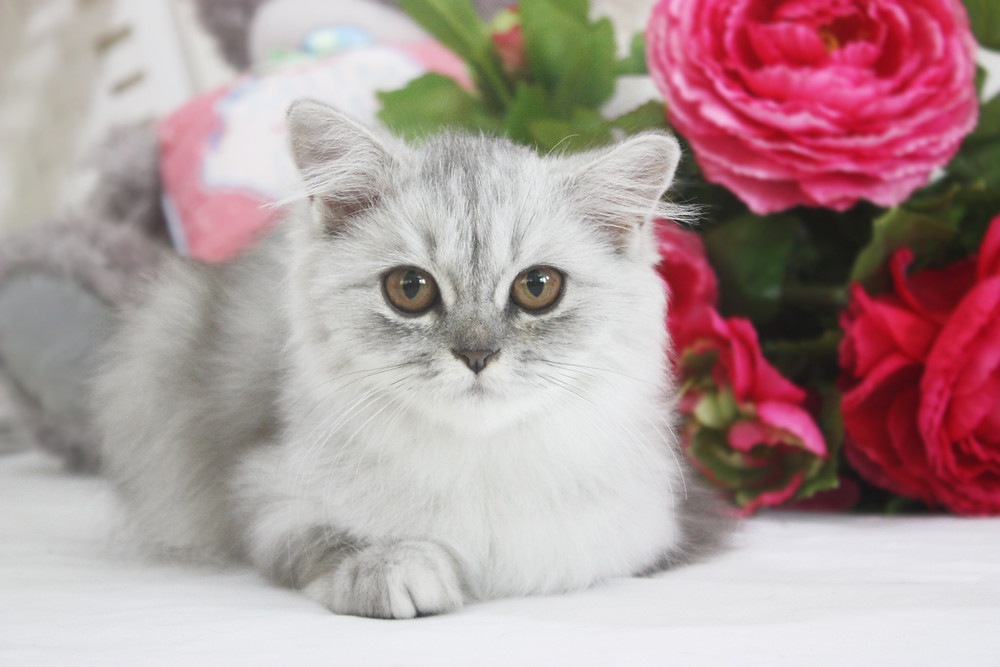 British Longhair Silver