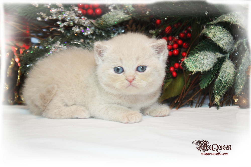 Cream British Shorthair Abu Dhabi