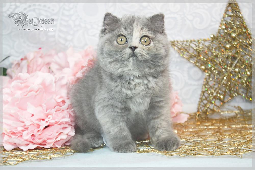 British Shorthair Blue Cream Kitten