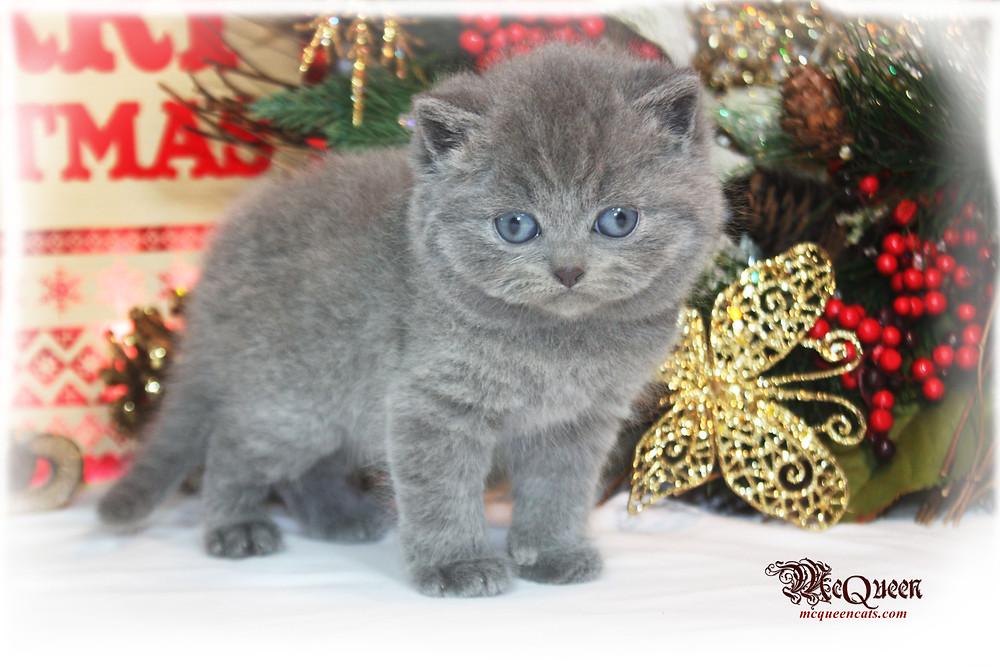 British shorthair kittens UAE