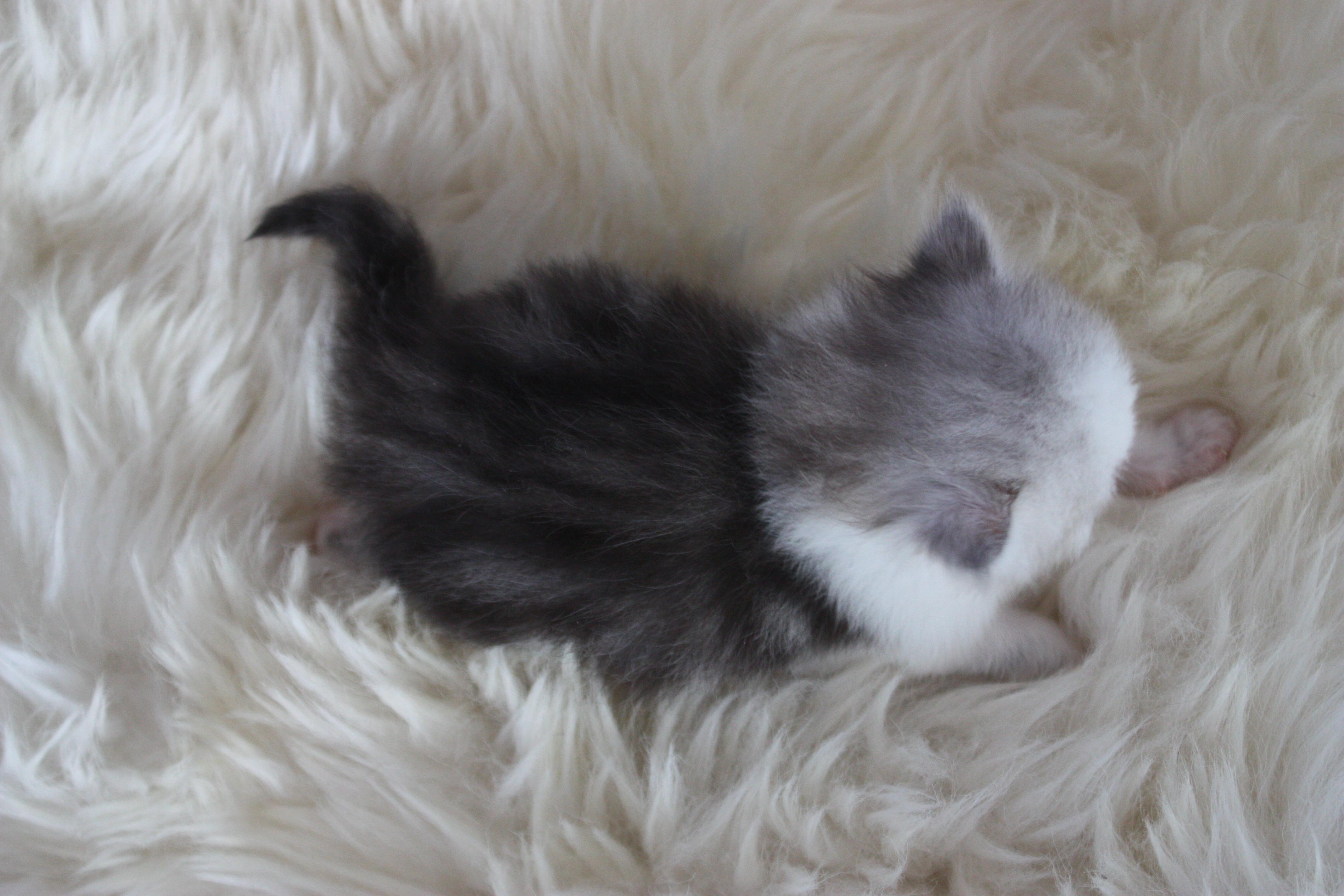 British Longhair Silver White
