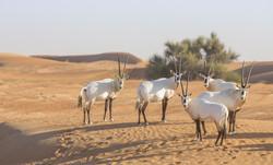 Arabian Oryx in abu dhabi