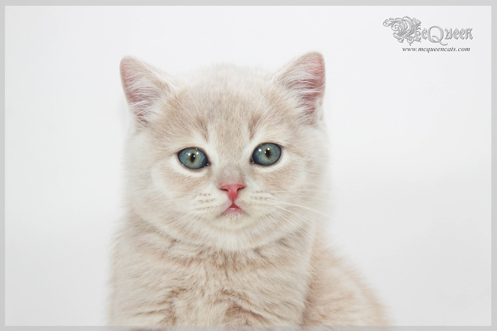 Cream British Shorthair kitten