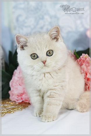 British Shorthair Cream Kitten