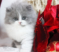 British shorthair in dubai