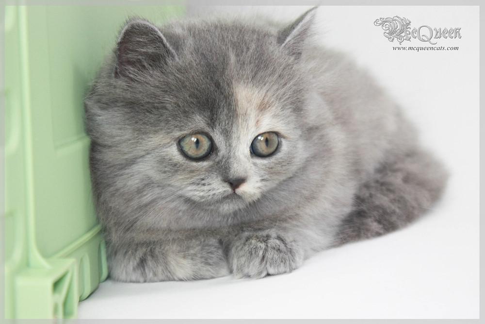 Blue Cream British Longhair Kitten
