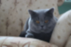 British Shorthair Dubai