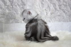 Silver Tabby British Longhair