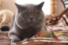 British shorthair with a toys
