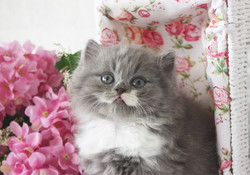 Blue British Kitten