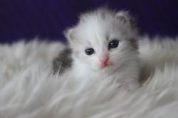 Silver White British Longhair