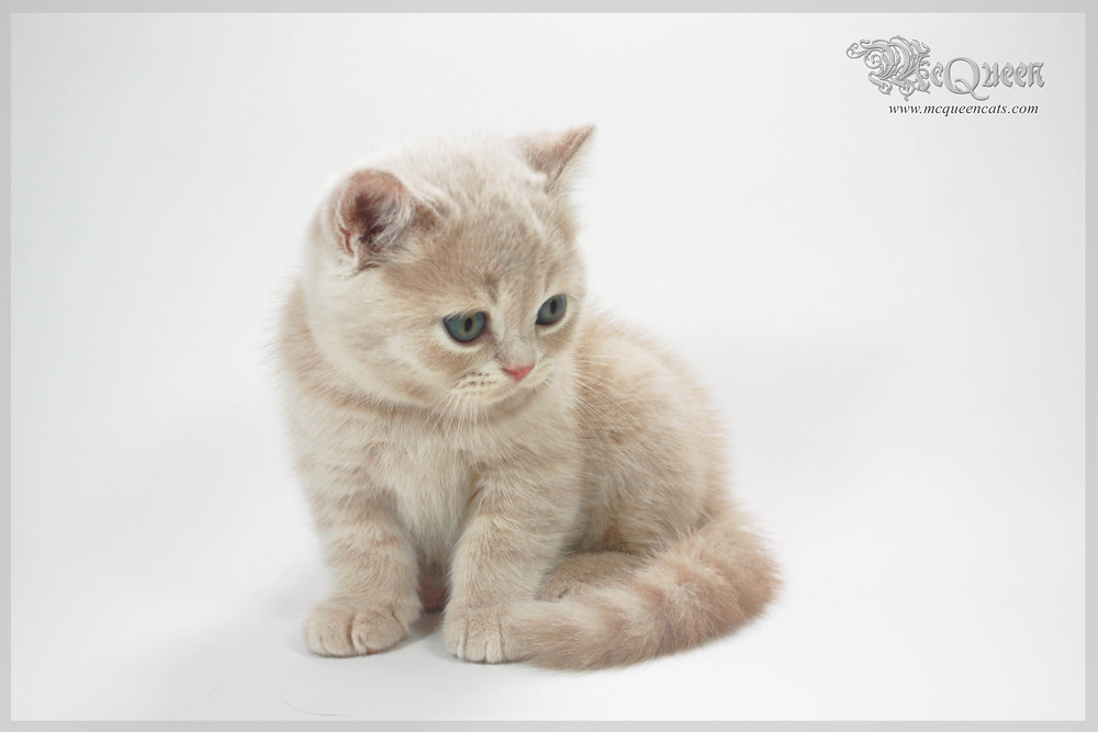 British Shorthair Kitten in Dubai