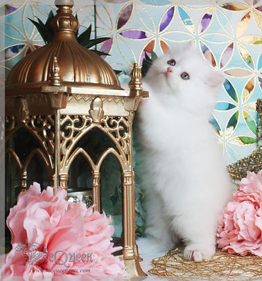 Kittens for sale in Abu Dhabi