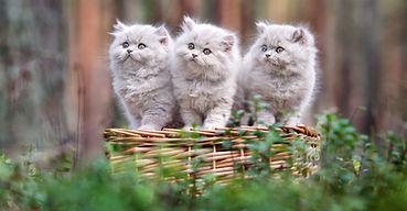 British Longhair kittens in Dubai and Abu Dhabi