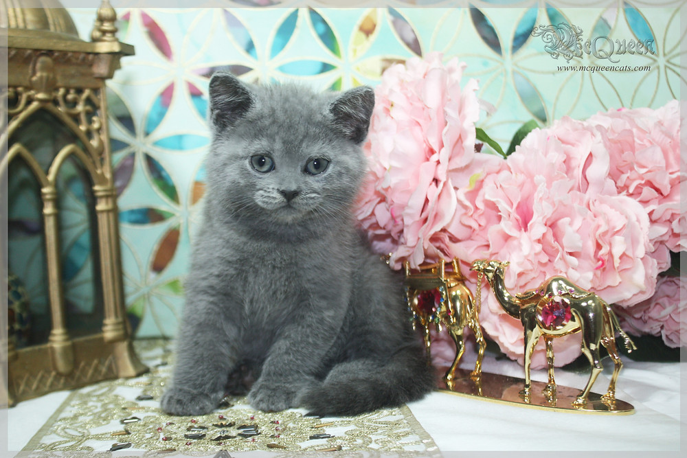 grey british shorthair kitten