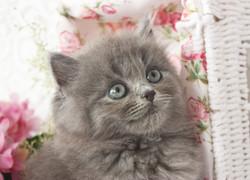British Longhair Blue Kitten