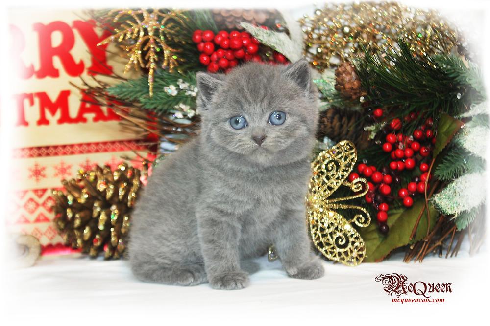 Blue British Shorthair Kitten for sale