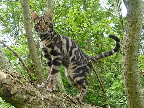 Bengal i et træ