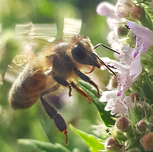 A Honey Bee licking the nectar from a Nepata flower