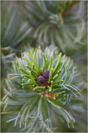 Chinese White Pine
